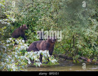 Oso grizzly (Ursus arctos horribilis) hembra adulta y sus crías.