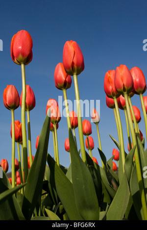 Tulipanes (Tulipa gesneriana), cerca de Agassiz, British Columbia.
