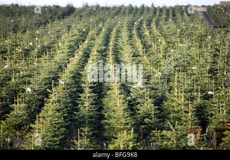 Filas de Nordman y nobles abetos crecen en una granja en el Nordeste de Escocia y listos para ser talados para la venta de árboles de Navidad