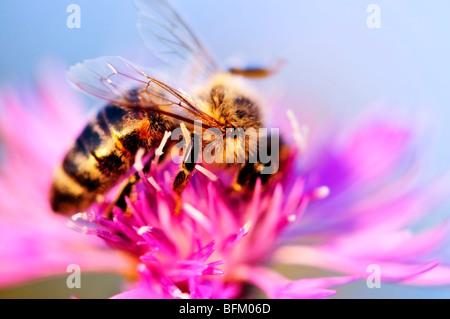 Cerca de la miel de abeja mala hierba en flor