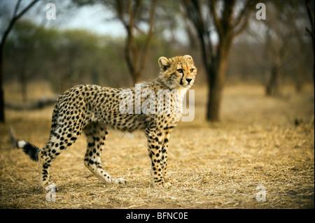 Cheetah Cub Retrato Foto de stock