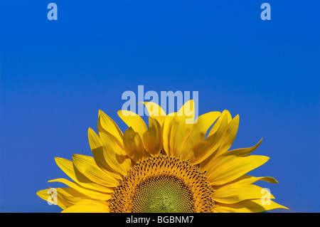 Sun Flower y cielo azul Foto de stock