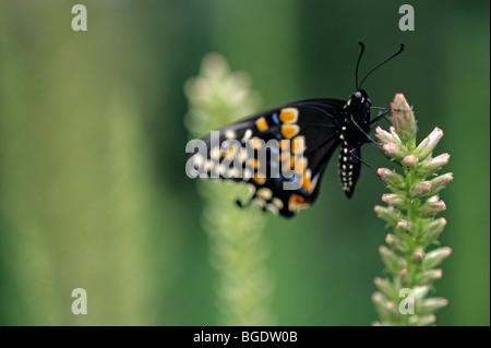 Parque Zoológico Woodland E. exhibición de mariposas Papilio polyxenes Especie () que aterrizaba en flor de Seattle, Washington State EE.UU.