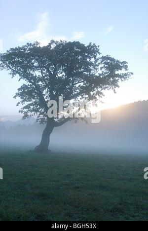 Árbol en un campo nebuloso, Kijimadaira, Prefectura de Nagano, Japón Foto de stock