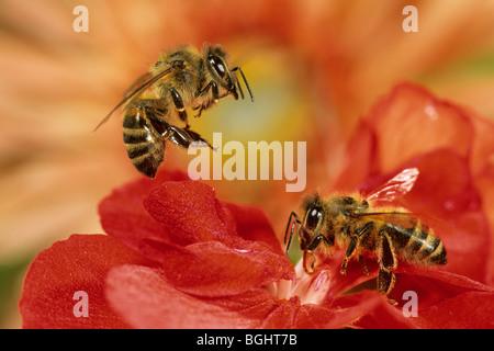 Carniolan de abejas (Apis mellifera Carnica), dos trabajadores de una Begonia.