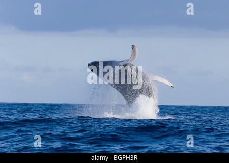 Ballena Jorobada saltando Hawaii
