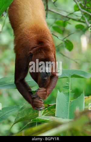 Mono aullador (Alouatta seniculus), adulto colgantes, Iquitos, Perú