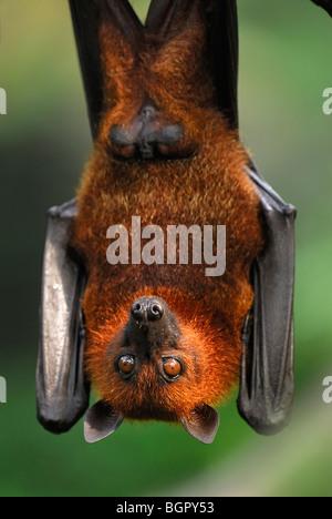 Flying fox Malaya (Pteropus vampyrus), adultos, Malasia colgantes
