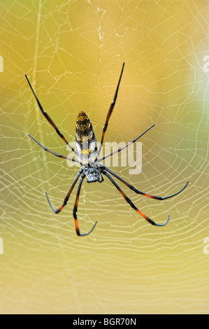 Golden orb-web (araña Nephila madagascariensis), Madagascar