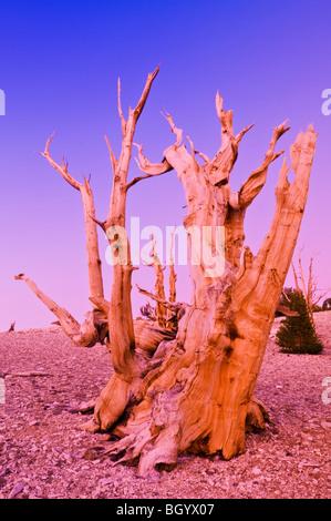 Viejos pinos bristlecone (Pinus longaeva) en el Patriarca Grove, antiguo bosque de pinos bristlecone, White Mountains, California