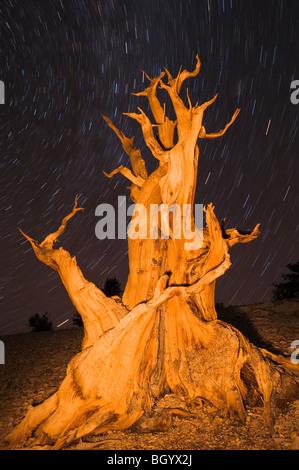 Antiguo pino bristlecone (Pinus longaeva) en el Patriarca Grove, antiguo bosque de pinos bristlecone, White Mountains, California