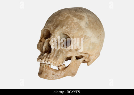 Cráneo humano (Homo sapiens)