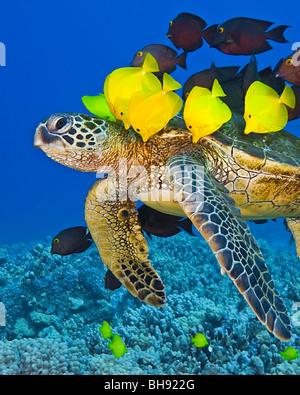 La tortuga verde se limpian por Surgeonfishes, Chelonia mydas, Isla Grande, costa de Kona, Hawaii, EE.UU.