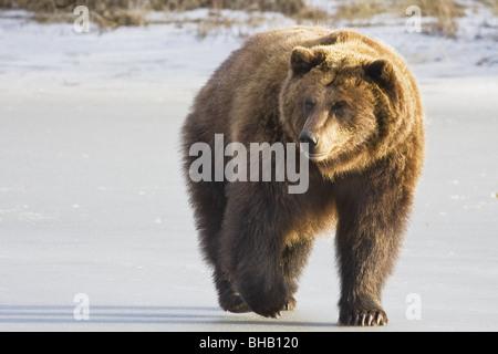 Grizzly cautivo a caminar en la nieve en la conservación de la vida silvestre de Alaska Centerm Southcentral Alaska Foto de stock