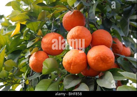 Las naranjas crecen en árboles maduros en Marrakech, Marruecos.