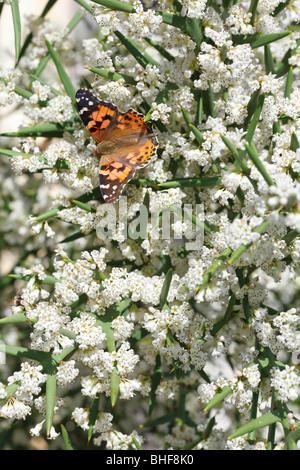 Painted Lady butterfly (Vanessa cardui) alimentación en el arbusto espinoso Colletia spinosissima en un jardín. Powys, Gales.