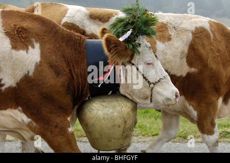 Las vacas con cencerros volviendo al valle desde los pastos alpinos, Alm Seiser, Tirol del Sur, Italia