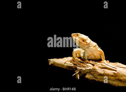 Close-up de un lagarto aislado sobre fondo negro