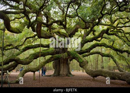El Angel Oak, Quercus virginiana, el sur más grande en el mundo de Live Oak, cerca de Charleston, Carolina del Sur, EE.UU..