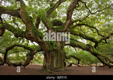 El Angel Oak, Quercus virginiana, el sur más grande en el mundo de Live Oak, cerca de Charleston, Carolina del Sur