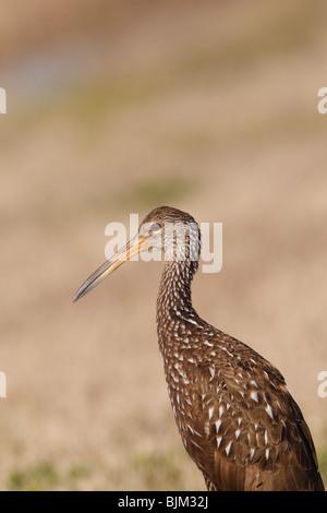 Limpkin (Aramus guarauna) Retrato