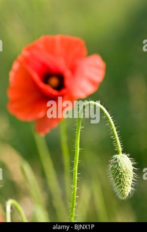 Amapola Roja flor cerrar