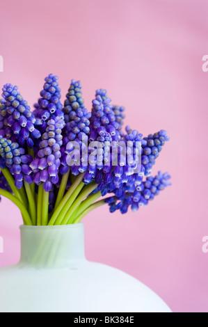 Montón de muscari o Jacinto de la uva en un jarrón contra un fondo de color rosa
