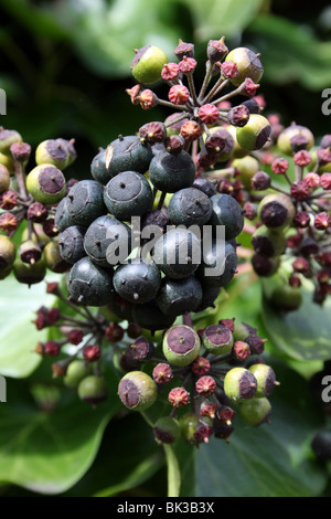 Hiedra Hedera helix frutas comunes adoptadas en Ashton Park, West Kirby, Wirral, REINO UNIDO Foto de stock