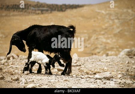 La alimentación de la cabra del bebé de ella es madre en el Oriente Medio Reino Hachemita de Jordania