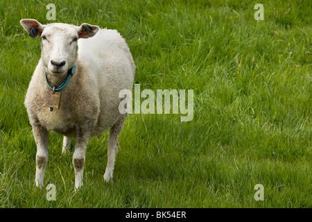Retrato de ovejas en pasto permanente