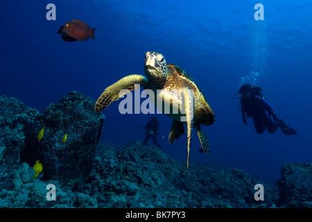 Tortugas marinas verdes, Chelonia mydas, Kailua-Kona, Hawai (N. Pacífico)
