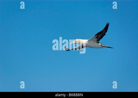 Norte de alcatraces (Morus bassanus) volando contra un cielo azul, Shetland, Escocia, Reino Unido, Europa Foto de stock
