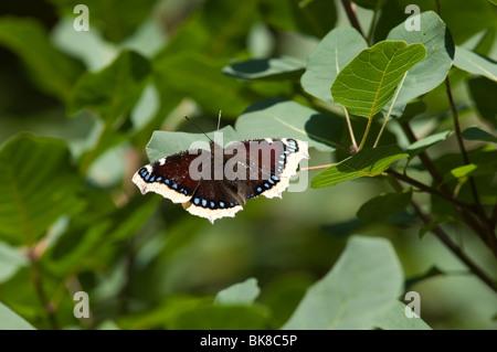 Nymphalis antiopa, Vanessa, manto de luto, Camberwell Belleza, manto de luto. Las hermosas mariposas tropicales Foto de stock