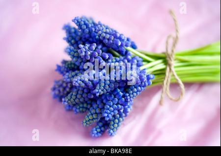 Muscari o uva hyacinth atados con jardín en un montón de cadena sobre un fondo de color rosa bunch jarrón