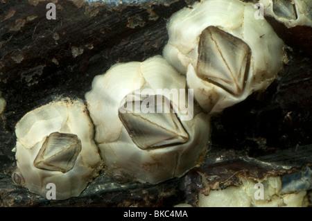 Percebe (Australia Elminius modestus) en una concha de mejillón.