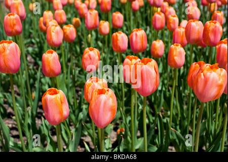 Cerca de tulipanes en el Festival Tulip Tiempo en Holland, Michigan Foto de stock