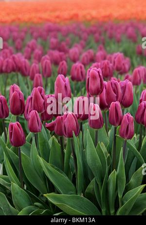 Los tulipanes en Valle Skagit durante el anual Festival de Tulipanes