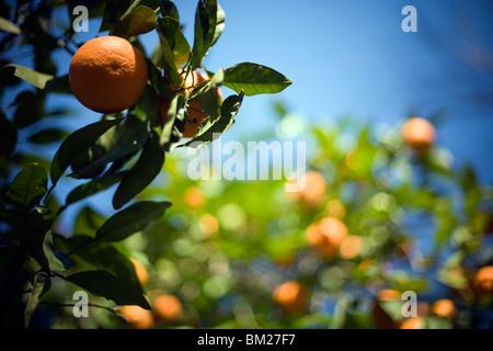Naranja amarga en la calle, en Sevilla, España.