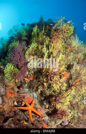 Starfish en arrecifes de coral, Echinaster sepositus, Paramuricea clavata, Tamariu, Costa Brava, el Mar Mediterráneo, España
