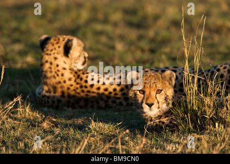 Cheetah cub y madre Acinonyx jubatus cálida luz del atardecer sobre el lindo bebé cara animal acostado en el pasto verde sabana Maasai Mara Kenya Masai Mara Foto de stock