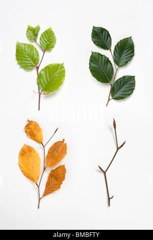 Beech ramitas en primavera, verano, otoño e invierno. Fagus sylvatica. Compuesta Digital. En el Reino Unido.