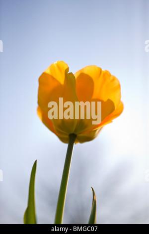 Un tulipán amarillo en plena floración, cerrar