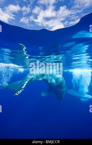 Por encima y por debajo de la vista de la ballena jorobada, Maui, Hawaii, USA.