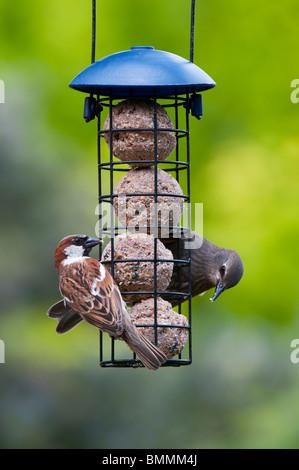 Sturnus vulgaris y Passer domesticus. Starling y menores gorrión alimentarse de un alimentador de bolas de sebo Foto de stock
