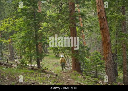 Caminante en Arizona National Scenic Trail en medio del bosque de coníferas mixto en montaña Mormón, [el Bosque Foto de stock