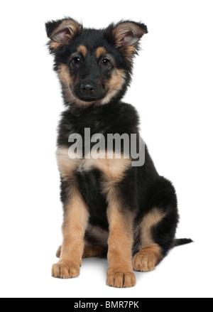 Cachorro de pastor alemán, de 3 meses de edad, sentado delante de un fondo blanco