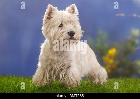 West Highland White Terrier, de 12 años de edad / Westie Foto de stock