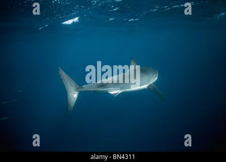 Gran Tiburón Blanco (Carcharodon carcharias) girando en mar abierto, peligrosos arrecifes, Australia del Sur - Gran Bahía Australiana.