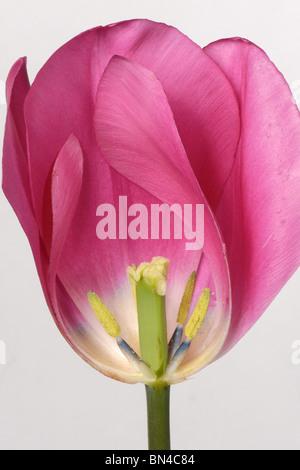 Sección a través de un tulipán flor rosa china para mostrar estructura Foto de stock