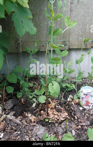 Hedge bindweed Calystegia sepium, atacar una planta de arveja melodiosa. También conocido como Bearbind, Bellbine, agallas, Hedge-Bell del Diablo, el Infierno, la maleza Withybind. Planta herbácea de escalada, la propagación por arrastrándose tallos subterráneos que les gusta reunirse cerca de las paredes de retención si está presente, y algunas veces por semilla. Es muy invasiva y sofocarán más delicadas plantas ornamentales si está permitido. Sap actúa como un laxante.